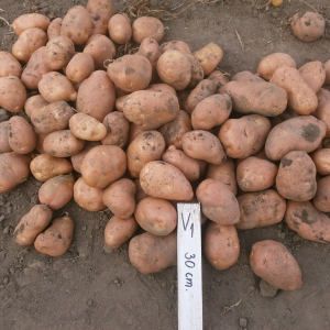 camp cartofi 52