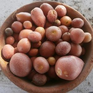 camp cartofi 59